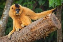 Yellow-cheeked gibbon female, Nomascus gabriellae stock illustration