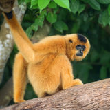 Yellow-cheeked gibbon female, Nomascus gabriellae vector illustration