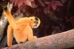 Yellow-cheeked gibbon female, Nomascus gabriellae Stock Images
