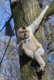 Yellow-cheeked gibbon royalty free stock image