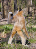 Yellow-cheeked gibbon female stock images