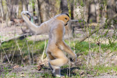 Yellow-cheeked gibbon female Royalty Free Stock Image