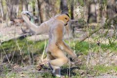 Yellow-cheeked gibbon female royalty free stock image