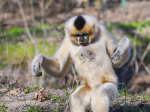 Yellow-cheeked gibbon female Stock Photography