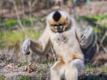 Yellow-cheeked gibbon female stock photography