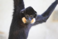 Yellow-cheeked gibbon Royalty Free Stock Photography