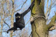 Yellow-cheeked gibbon royalty free stock photos