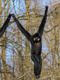 Yellow-cheeked gibbon. Male yellow-cheeked gibbon (Nomascus gabriellae) on a tree stock photography