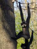 Yellow-cheeked gibbon Stock Images
