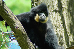 Yellow-cheeked gibbon (Nomascus gabriellae). A male yellow-cheeked gibbon (Nomascus gabriellae royalty free stock image