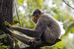 Yellow-cheeked gibbon (Nomascus gabriellae) Royalty Free Stock Image