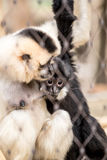 Yellow-cheeked gibbon (Nomascus gabriellae) Stock Photo