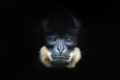 Yellow-cheeked Gibbon, Nomascus gabriellae, detail portrait of wild monkey. Art view of beautiful animal. Dark forest wildlife sce Stock Images