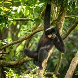 Yellow-cheeked Gibbon, Nomascus gabriellae, hanging relaxed in a tree. royalty free stock images
