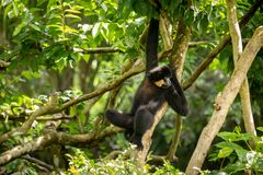 Yellow-cheeked Gibbon, Nomascus gabriellae, hanging relaxed in a tree. royalty free stock photography