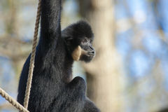 Yellow-cheeked gibbon. (Nomascus gabriellae) male Stock Photography