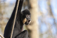Yellow-cheeked gibbon Royalty Free Stock Photo