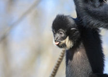 Yellow-cheeked gibbon stock image