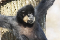 Yellow-cheeked gibbon Stock Photography