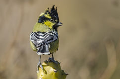 Yellow cheeked Tit Royalty Free Stock Photo