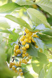 Yellow cherries on a branch Stock Photos