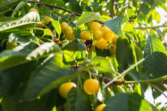 Yellow cherries on a branch.ripe cherries on a tree branch against lush foliage on the background. Selective focus Royalty Free Stock Photos