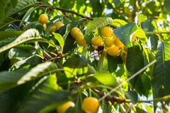 Yellow cherries on a branch.ripe cherries on a tree branch against lush foliage on the background. Selective focus Royalty Free Stock Images