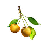 Yellow Cherries hanging on a cherry tree branch Stock Photography