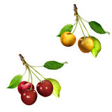Yellow Cherries hanging on a cherry tree branch Royalty Free Stock Photo