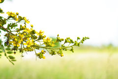 Yellow cherry blossom after rain. royalty free stock photography