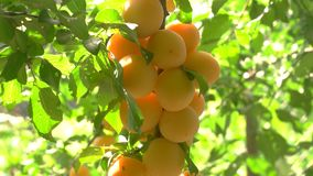 Yellow cherry plums. stock video