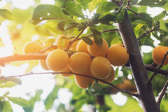 Yellow cherry plums. Fruits on tree branch. Ripe and juicy. Nice to have a garden Stock Photos
