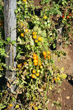 Yellow Cherry Tomatoes. A bunch of yellow cherry tomatoes growing on a tomato plant.  Some are ripened and ready to be picked Royalty Free Stock Photos