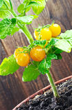Yellow cherry tomatoes Royalty Free Stock Image