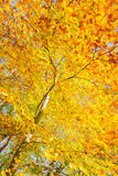 Yellow cherry tree in autumn park Royalty Free Stock Images