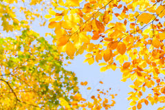 Yellow cherry tree in autumn park Royalty Free Stock Image