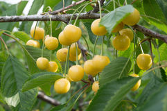 Yellow cherry tree Royalty Free Stock Photography
