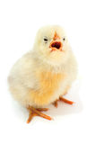 Yellow chick. On a white background royalty free stock photo