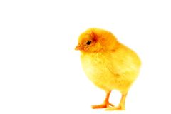 Yellow Chick. 2 day old yellow chick standing with white background Royalty Free Stock Photo