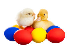 Yellow chick and the duckling Royalty Free Stock Photo