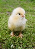 Yellow chick on green grass close-up in springtime Stock Photos