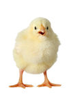 Yellow chick isolated. Cute little chick isolated on white Stock Photography