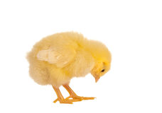 Yellow chick. Yellow little easter chick on a white background Stock Photography