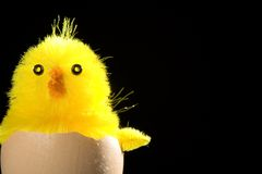 Yellow Chick Nested in Egg Royalty Free Stock Photography