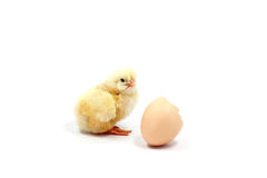 Yellow chick with shell. On white background Royalty Free Stock Photos
