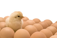 Yellow chicken. Who is among eggs Royalty Free Stock Images