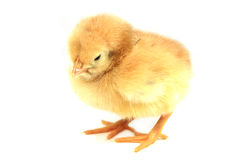 Yellow chicken. Small yellow chicken isolated on white Royalty Free Stock Photo