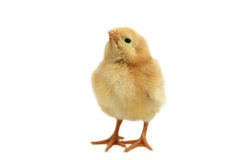 Yellow chicken. Yellow small easter chicken isolated on white Royalty Free Stock Photography