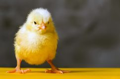 Yellow chicken confidently stands stock photography