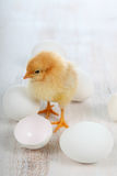 Yellow chicken and eggs Stock Images